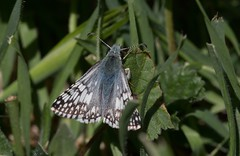 No Ships In The Offing (harefoot1066) Tags: lepidoptera hesperiidae pyrguscommunis commoncheckeredskipper pyrginae skipperbutterfly