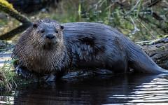 River Otter (nickinthegarden) Tags: riverotter abbotsfordbccanada fishtrapcreekpark