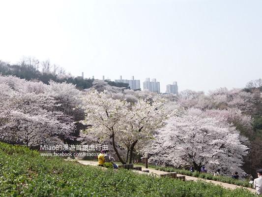 안산공원벚꽃18