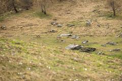 Prali, 23.04.2016-1 ( YariGhidone ) Tags: camera wild mountain nikon outdoor wildlife tent adventure rosso montagna animali stambecchi stambecco camosci prali ferrino lightent2 rockgoats