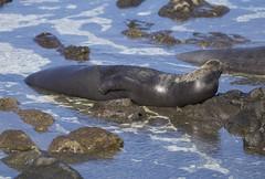 Monk Seal enjoying the sun (Actionhost) Tags: nature hawaii oahu 6d monkseal canonl canon6d