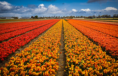 Tulip field (Manadh) Tags: holland netherlands field landscape pentax tulip april k3 lisse 2016 tulipfields manadh