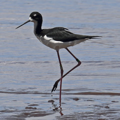 Stilt Hawaiian (RicoLeffanta) Tags: ocean sea bird hawaii harbor seaside pacific oahu rico hawaiian pearl seashore mudflats stilt shorebird himantopus knudseni leffanta