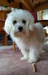 Quinto under the table (Fay2603) Tags: dog white cute animal eyes indoor hund smartphone maltese haustier tier malteser