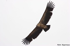 Gyps himalayensis (Rmi Bigonneau) Tags: bird nature animal wildlife tibet vulture himalaya sichuan animalplanet oiseau vautour gypshimalayensis himalayangriffon himalayanvulture vautourdelhimalaya