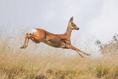 Roe Deer (Terry Angus) Tags: uk deer roe roedeer rochdale