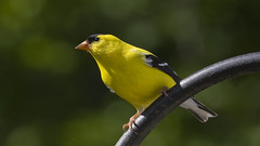 Eyes on the Prize_DSC5241 (DansPhotoArt) Tags: bird nature fauna garden backyard wildlife goldfinch aves americangoldfinch passaros