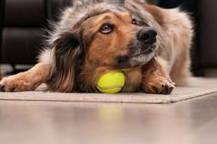 """Drmmer"" om ngot...? (Algots) Tags: dog hund drommar fotosondag fs160501"