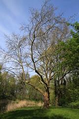 Frhling/Spring 2016-05-01 (Pascal Volk) Tags: tree berlin wideangle wa ww baum superwideangle sww uwa weitwinkel swa berlinlichtenberg ultrawideangle uww 23mm ultraweitwinkel superweitwinkel canonef1635mmf4lisusm canoneos6d parkinberlin landschaftsparkherzberge