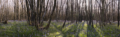 Kings Wood (marc_morris1982) Tags: wood uk flowers blue trees light sunset england panorama plants sun tree green nature grass bluebells bells canon woodland walking outside outdoors eos kent ancient branch outdoor walk branches sigma panoramic kings bluebell 18200 kingswood aonb 18200mm sigma18200 sigma18200mm areaofnaturalbeauty anb dc18200mm canon70 canonuk canoneos70d canon70d eos70d canoneos70 eos70 dc18200