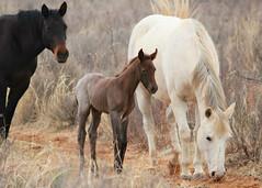 A Mother's Love (It Feels Like Rain) Tags: horses horse mare texas westtexas colt mares foal foals aqha amotherslove americanquarterhorseassociation maresandfoals