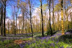 Bluebell Dell (Steve Major) Tags: trees tree bluebells forest woodland landscape woods outdoor dorset dorchester sigma1020 almer stevemajor canon60d bluebelldell chalboroughestate