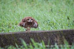 IMG_3854 (sullivan) Tags: nature animal taiwan  jinshan shortearedowl asioflammeus   ef300mmf4lisusm   canoneos7d     newtaipeicity      adobephotoshoplightroom5 suhaocheng sullivan sullivan