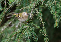 Goldcrest (tods_photo) Tags: male green bird nature forest spring wildlife small fast tiny needles spruce 500px ifttt