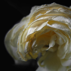 Al cor de la rosa blanca (llambreig) Tags: love rose paper death spain poetry poem amor mort flor rosa blanca record poesia esp nit poeta versos memria oblit ptals leveroni desmai castello castellodelaplana porcarnet