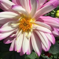 Pink & White Dahlia (stashheap) Tags: pink dahlia flowers