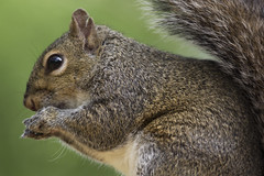 (DFChurch) Tags: wild nature animal fur backyard squirrel florida wildlife