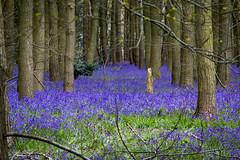 Glorious Bluebells (Andy Valente) Tags: uk flowers england bluebells woodland