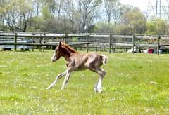 Green Cottage V? (Lebatihem) Tags: pony foal newforestpony