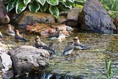 Wax wing frolic (back stage) Tags: bird water yard pond stream mo springfield waxwing cedarwaxwing sonyalpha700 sony70300mmf4556