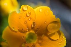 Rocio 3 (cmarga28) Tags: flowers color macro colors yellow nikon flor amarillo nikondigital magicmoments rocio nikond750