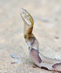 East Texas Copperhead (Matthew Kwiatkowski) Tags: copperhead agkistrodon agkistrodoncontortrix