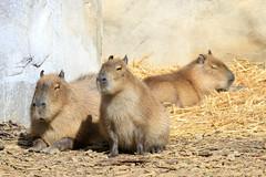 Capybaras (olivier.ghettem) Tags: zoo capybara amazonie amriquedusud capybaras rongeur rongeurs zoodevincennes parczoologiquedeparis zoodeparis