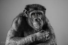 Chimpanzee (kfjmiller) Tags: blackandwhite monochrome march nikon edinburgh chimp ape chimpanzee captivity zooanimals edinburghzoo 2016 d610 karenmiller sep2 nikon70200mmf28vrii silverefexpro2