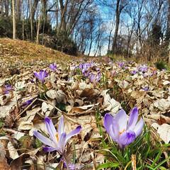 Crocus (Cristina Birri) Tags: flowers primavera river spring fiume fiori prato friuli udine tagliamento ragogna