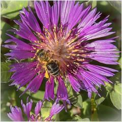 Abeja (BLAMANTI) Tags: abejas
