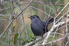 Noisy Catbird (Jan Nagalski) Tags: winter nature florida song wildlife meow noisy mew catbird southwestflorida graycatbird auduboncorkscrewswampsanctuary jannagal jannagalski