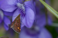 Pyrausta aurata (Pittypomm) Tags: uk macro insect moth somerset taunton aurata pyrausta macromondays beginswiththeletterp