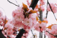 (Carl_W) Tags: travel pink flower japan canon eos kyoto sakura kyotocity 550d canoneos550d eos550d 550dcanon