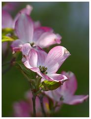 Cornus florida rubra - Dogwood - Blumenhartriegel (steffi's) Tags: pink tree may rosa dogwood baum cornaceae hartriegel cornusfloridarubra blumenhartriegel bltenhartriegel