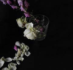 Quins abismes (llambreig) Tags: love rose paper death spain poetry poem amor mort flor rosa blanca record poesia nit poeta versos memria oblit ptals leveroni desmai castello castellodelaplana porcarnet