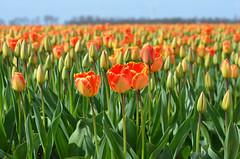 Red/orange/yellow tulips (Ben den Hartog) Tags: holland netherlands tulips nederland tulip noordoostpolder flevoland tulpen tulp tulpenroute