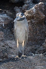 Galapagos yellow crested night heron-Darwin Bay (dfbphotos) Tags: spring ecuador nikon places galapagos april sa animalplanet 2016 darwinbay islagenovesa
