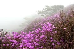 korean rosebay (withcamera) Tags: park trees forest landscape nikon korea  incheon    landscapephotography     ganghwaisland   koreanrosebay  goryeosan nikondf 24~70lens koreanrosebaygarden df 24~70