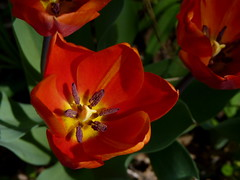 Red Tulips (Dendroica cerulea) Tags: plant flower garden newjersey spring nj tulip highlandpark tulipa liliaceae liliales fav10 middlesexcounty lilioideae