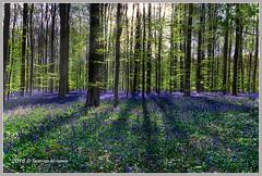 Hallerbos (Twan van den Hombergh) Tags: flowers b bomen flora purple belgium belgie violet bos hyacinten halle beech bloemen landschap hallerbos beukenbomen