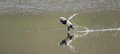 Tufted Duck (Paul..A) Tags: duck tufted tuftedduck