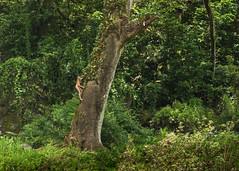 Beautiful tree beneath Wailua Falls. (nevadoyerupaja) Tags: usa hot tree wet water girl female forest swimming river hawaii climb waterfall steam climbing jungle heat kauai tropical climber humid