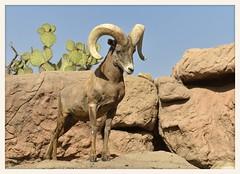 Desert Bighorn Ram (gauchocat) Tags: arizonasonoradesertmuseum tucsonarizona