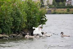 ZWAANTJES (Sonja Ooms) Tags: netherlands maastricht maas vogel kuiken zwaan
