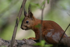Molting squirrel (Daria Markova) Tags: squirrel molt