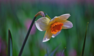 Spring is a beautiful time. Narcissus.