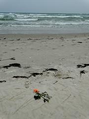 Abschied (Manuela Vierke) Tags: beach rose strand germany deutschland sand pflanze balticsea insel blume rgen tod ostsee mrz abschied mecklenburgvorpommern trauer 2016 prora verlust meckpomm seebestattung