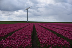 """""""And forget not that the earth delights to feel your bare feet and the winds long to play with your hair""""  ― Kahlil Gibran (ZieZoFoto.com Take your time :)) Tags: holland netherlands windmill tulips nederland nl tulpen windmolen flowerfield bollenveld"""
