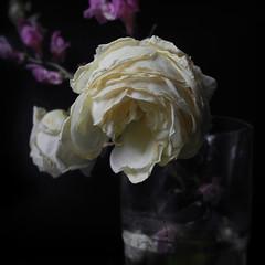 Joia callada i ben avara (llambreig) Tags: love rose paper death spain poetry poem amor mort flor rosa blanca record poesia nit poeta versos memria oblit ptals leveroni desmai castello castellodelaplana porcarnet