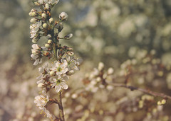02.05.16 (cabin9) Tags: flower nature whiteflower spring branch bloom buds hawthorn blooming